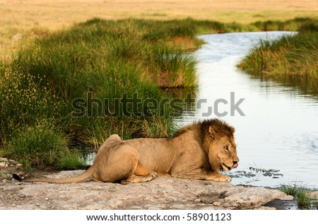 The lion (Panthera leo  nubica), known as the East African or Massai Lion, is found in east Africa, from Ethiopia and Kenya to Tanzania and Mozambique./  Lion on a watering place - stock photo