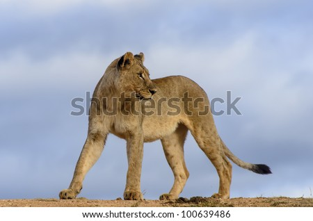 The lion (Panthera leo) was on a dam wall in Madikwe Game reserve South Africa and our vehicle was below the wall. She was looking back to see where the rest of her family was. - stock photo