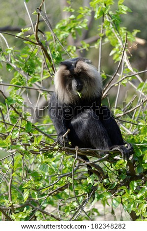 The lion-tailed macaque (Macaca silenus), or the wanderoo, is an Old World monkey endemic to the Western Ghats of South India.