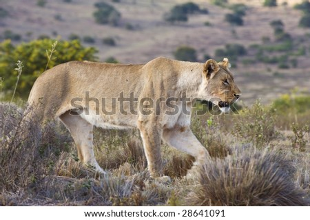 The lioness strides along the hilltop - stock photo