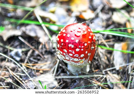 the little  amanita mushroom in natural habitat - stock photo