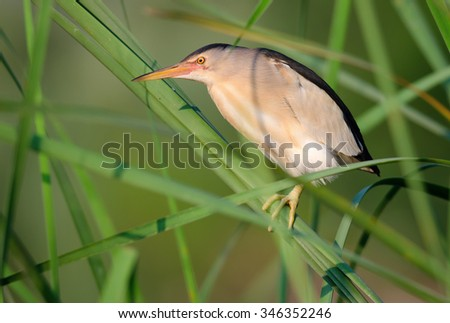 The little bittern (Ixobrychus minutus) is a wading bird in the heron family Ardeidae. Photo was taken in Ukraine