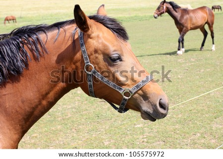 The little brown Foal on the green Field - stock photo