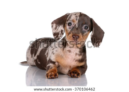 The little puppy dachshund on a white background