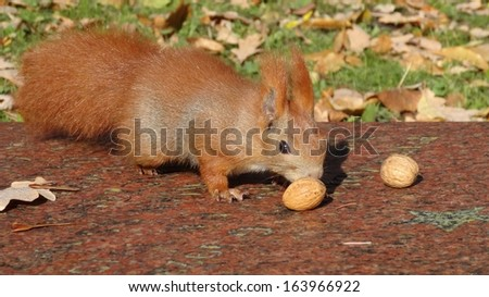 the little red-haired squirrel and nuts - stock photo