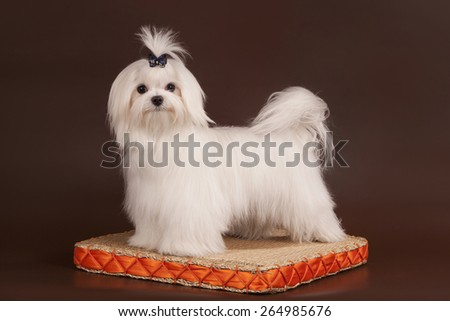 The little white dog of breed a maltese costs on a wattled rug with an orange border all this on a brown background - stock photo