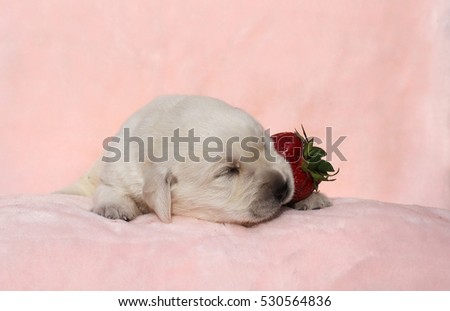 the little yellow labrador puppy sitting on red background with a strawberry
