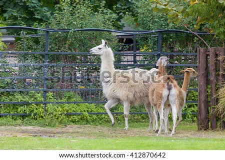 the llama in the zoo, nature walks on Sunny summer days on the green grass - stock photo