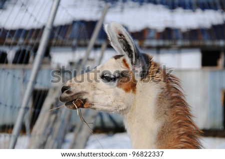 The llama in winter time (Lama glama) is a South American camelid, widely used as a meat and pack animal by Andean cultures since pre-Hispanic times. - stock photo