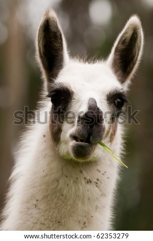 The llama is a South American camelid, widely used as a pack and meat animal by Andean cultures since pre-hispanic times. - stock photo