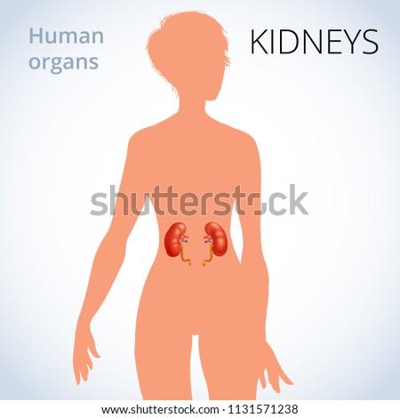 Location Kidneys Female Body Human Excretory Stock Illustration ...
