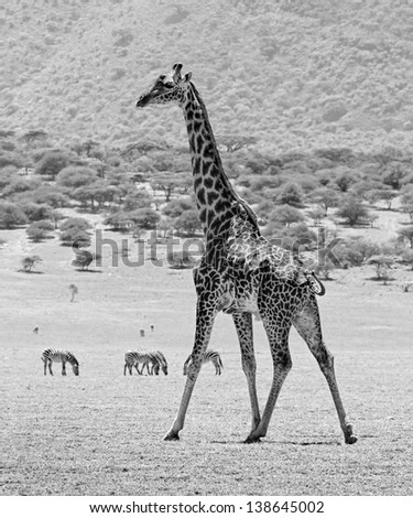 The lone male maasai giraffes in Crater Ngorongoro National Park - Tanzania, Eastern Africa (black and white) - stock photo