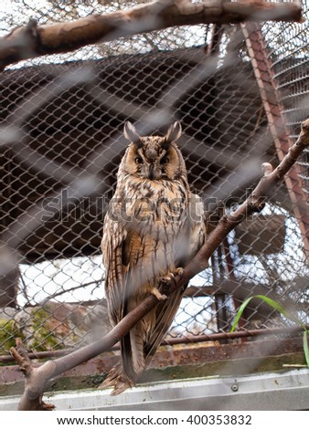 The Long-Eared Owl - standing on a branch in a cage - stock photo