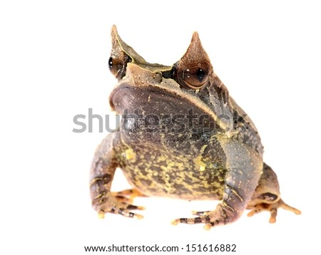 The long-nosed horned frog Megophrys nasuta isolated on white - stock photo