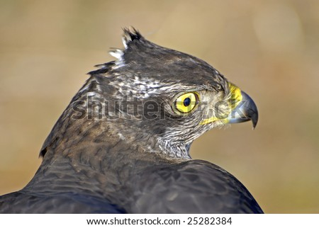 The look of a goshawk during a falconry competition - stock photo