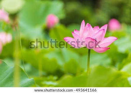 The Lotus Flower.Background is the lotus leaf and lotus flower and lotus bud and tree.