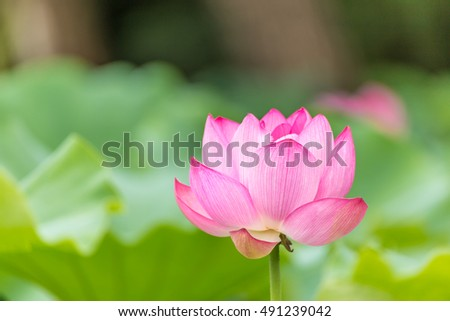 The Lotus Flower.Background is the lotus leaf and lotus flower and tree.