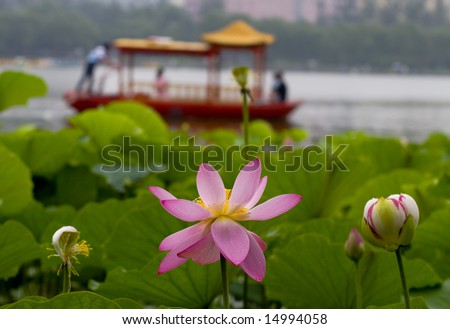 The lotus flowers in the morning after rain.Open lotus blossom with shallow focus.