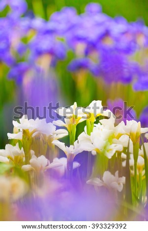 the lush thickets of fresh blooming white and purple irises - stock photo