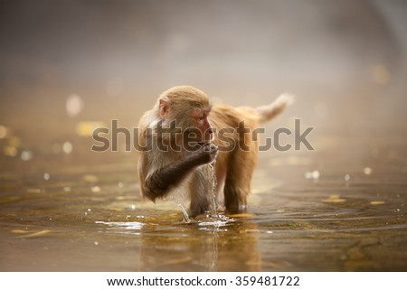 The macaque drinking water