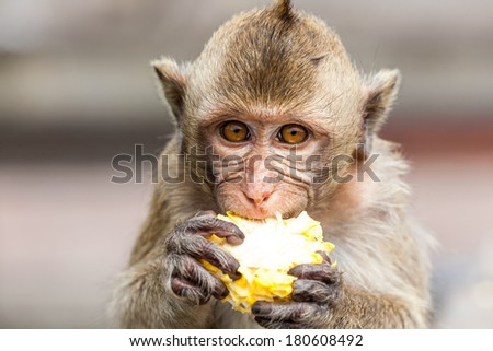 The macaque is a genus of the family of the Old World monkeys. Macaques live in Asia, India and Tibet eastward to Japan, Java, the Philippines and Celebes. - stock photo