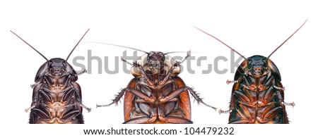 The Madagascar hissing Cockroach (Gromphadorhina portentosa) & Byrsotria rothi (Roth's Giant Burrowing Roach) - stock photo