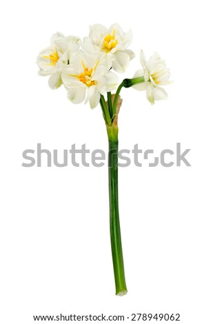 the magnificent narcissus is isolated on the white