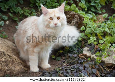 The Maine Coon, also known as American Longhair, is the bigest domesticated breed of cat with a distinctive physical appearance and high level hunting skills. - stock photo