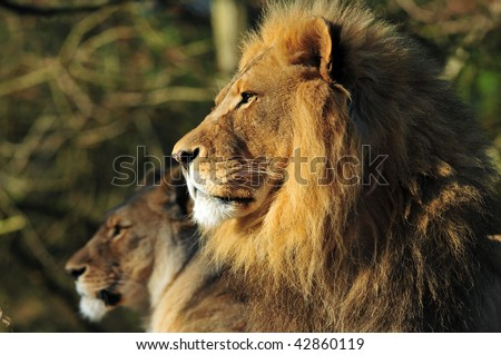 The majestic family portrait - Lion king and his queen in the background - stock photo