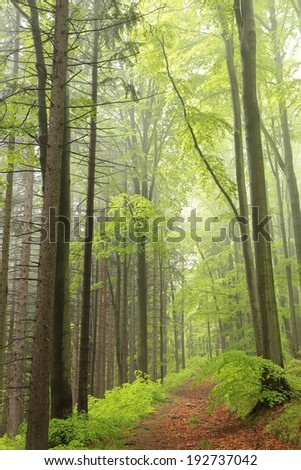 The majestic spring forest surrounded by fog. - stock photo