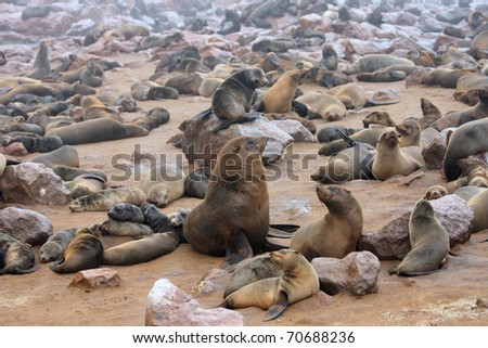 The male alpha in colony seals. Namibia - stock photo