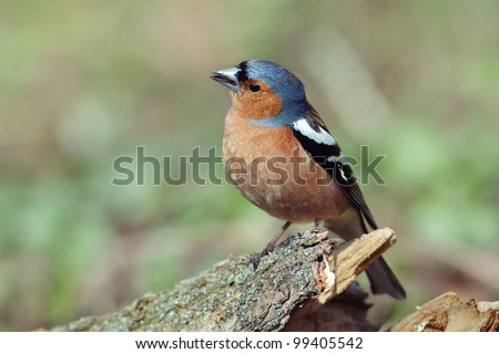 The male Chaffinch is sitting on a stump. Fringilla coelebs. - stock photo