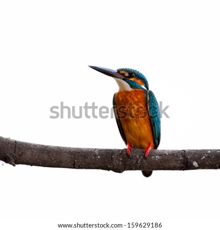The male Common Kingfisher (Alcedo atthis) is isolated on white background.  - stock photo