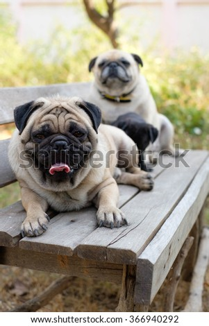 The Male fawn pug dog sitting front black puppy pug dog and fawn female pug dog on wooden chair. - stock photo