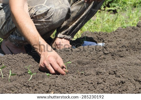 The male hand putting seedling of a cucumber to the earth