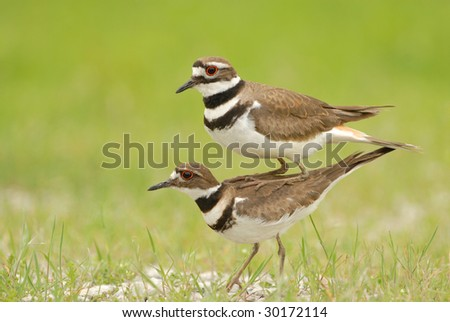 The male killdeer is seen perched on top of the female killdeer in order to appear as one large bird. The behavior is seldom witnessed and even more rarely photographed. - stock photo