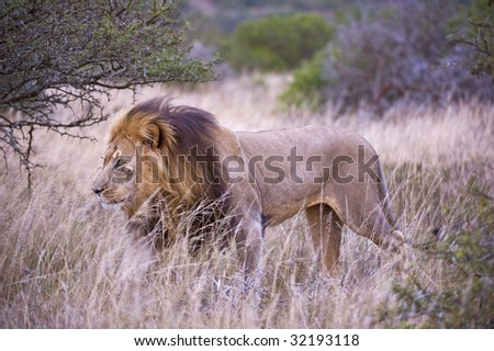 The Male lion that had been roaring all night walks past - stock photo