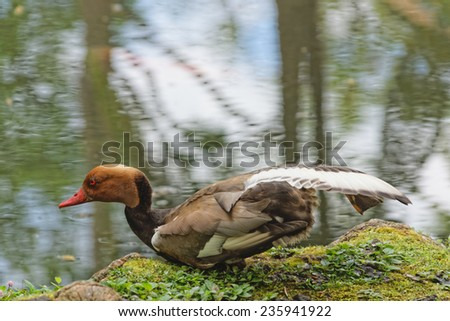 The male mallard in the lake in botanical garden of Furnas Sao Miguel, The Azores Islands, Portugal - stock photo