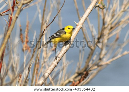The male of a bright citrine wagtail draws on himself attention sitting on a branch - stock photo