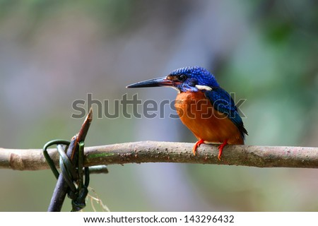 The male of Blue-eared Kingfisher (Alcedo meninting) is found in Asia, ranging across the Indian Subcontinent and Southeast Asia, Thailand. He sits on the stick.