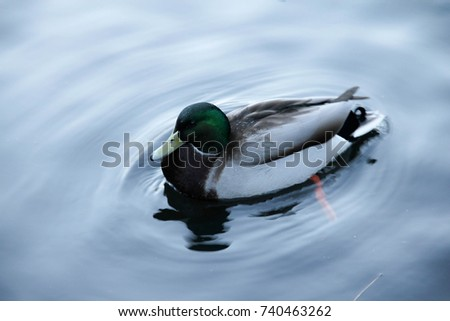 the mallard duck in the pond