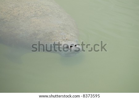 The manatee is an endangered species that is very near the brink of extinction. - stock photo