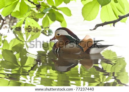the mandarin duck is not hunted for food because it tastes awful