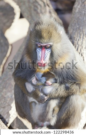 The mandrill (Mandrillus sphinx) is a species of primate family Cercopithecidae