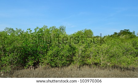 the mangrove forest in Thailand