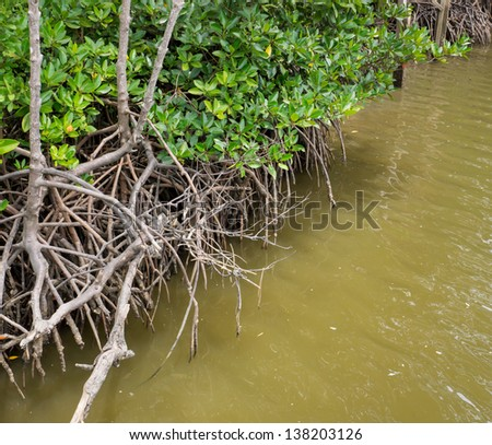 The mangrove root in water is the food source of aquatic animals - stock photo