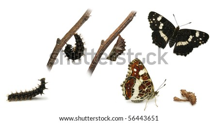The Map (Araschnia levana) butterfly metamorphosis - stock photo