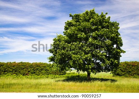 The maple growing nearby a field (summertime of year) - stock photo