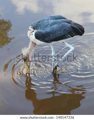 The Marabou Stork (Leptoptilos crumeniferus) hunting in the swamp. - stock photo