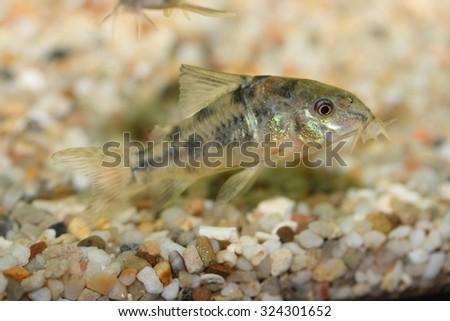 The Marbled catfish (Corydoras paleatus), a popular freshwater aquarium fish - stock photo